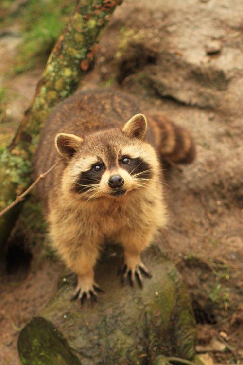 Raccoons at Porfell Wildlife Park (18.02.12) 833.jpg by atthezoouk on Flickr.