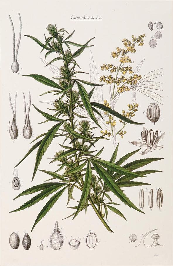 Cannabis sativa L. (Figure from Pharmacopoeia Borussica) 1863, Otto ...
