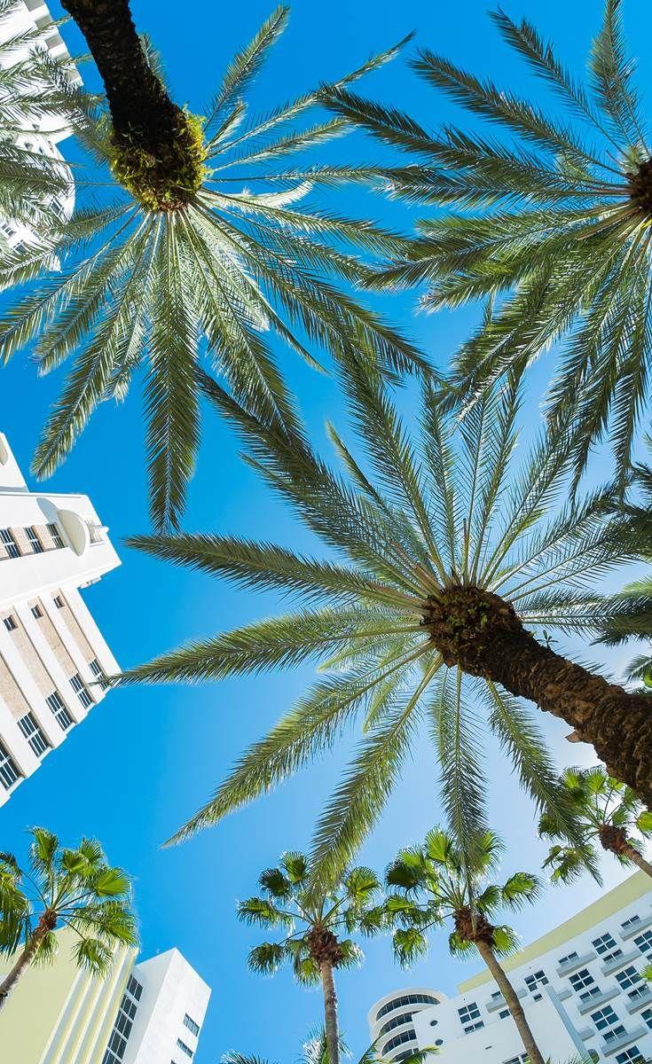 Palm trees in Miami, Florida