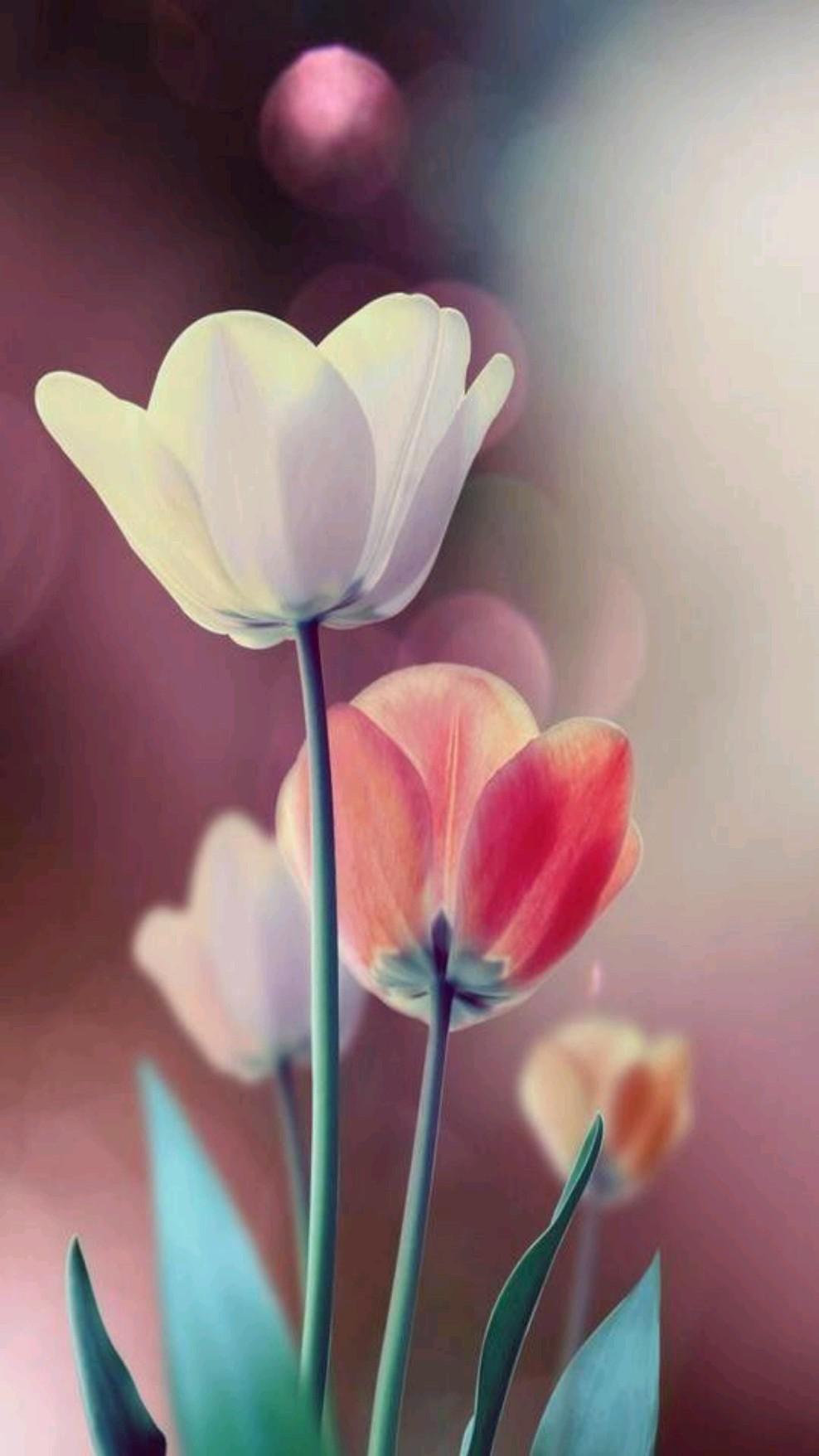 Flower buds rose tulip white red orange tulip