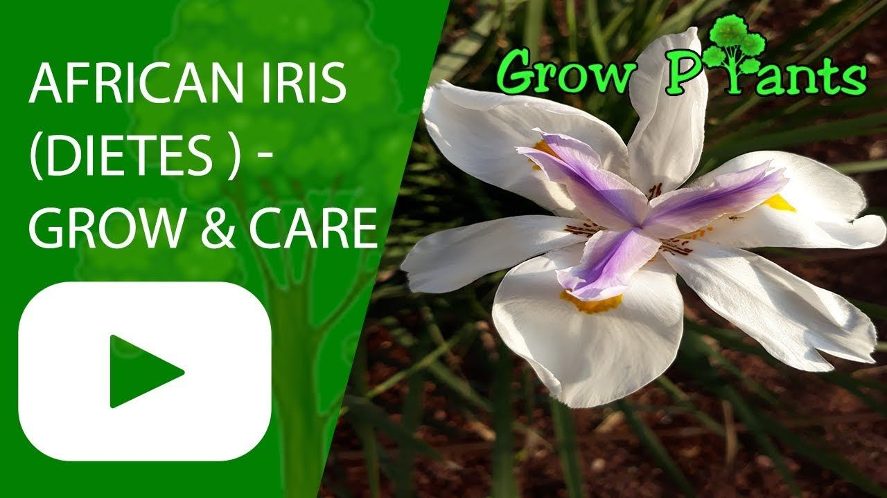 African Iris Growing And Care Dietes Plant Information Climate Hardiness Zone Uses Growth Speed Water Require African Iris Plant Information Dietes