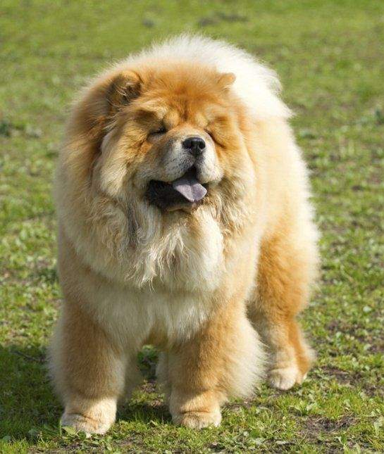 10 Cool Facts About Chow Chows Shih Tzu Dog Breeds Chow Chow Dogs
