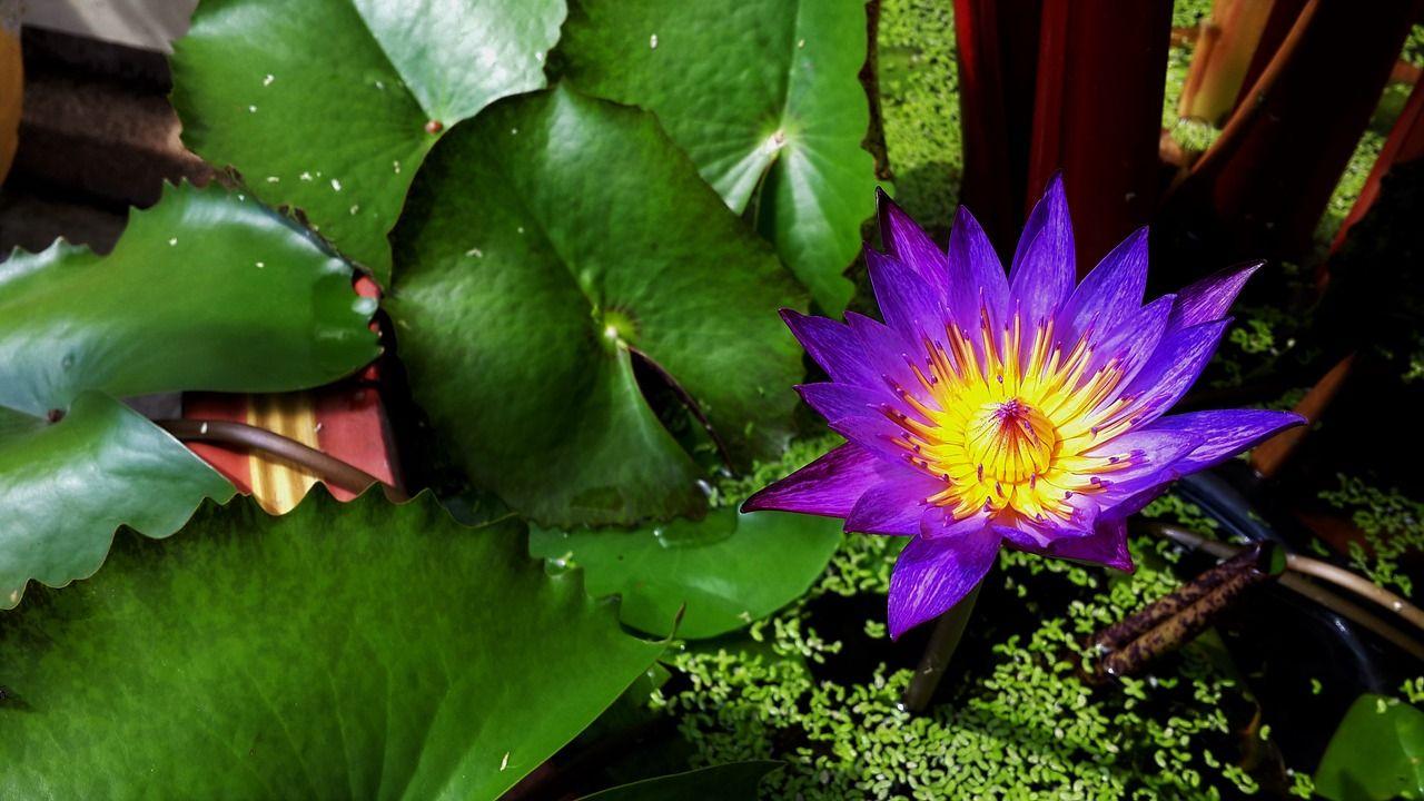 Free image on pixabay flower lotus pond lotus flower lotus flower flower lotus pond izmirmasajfo