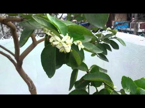 Frutales en maceta floración y frutos 2 - YouTube