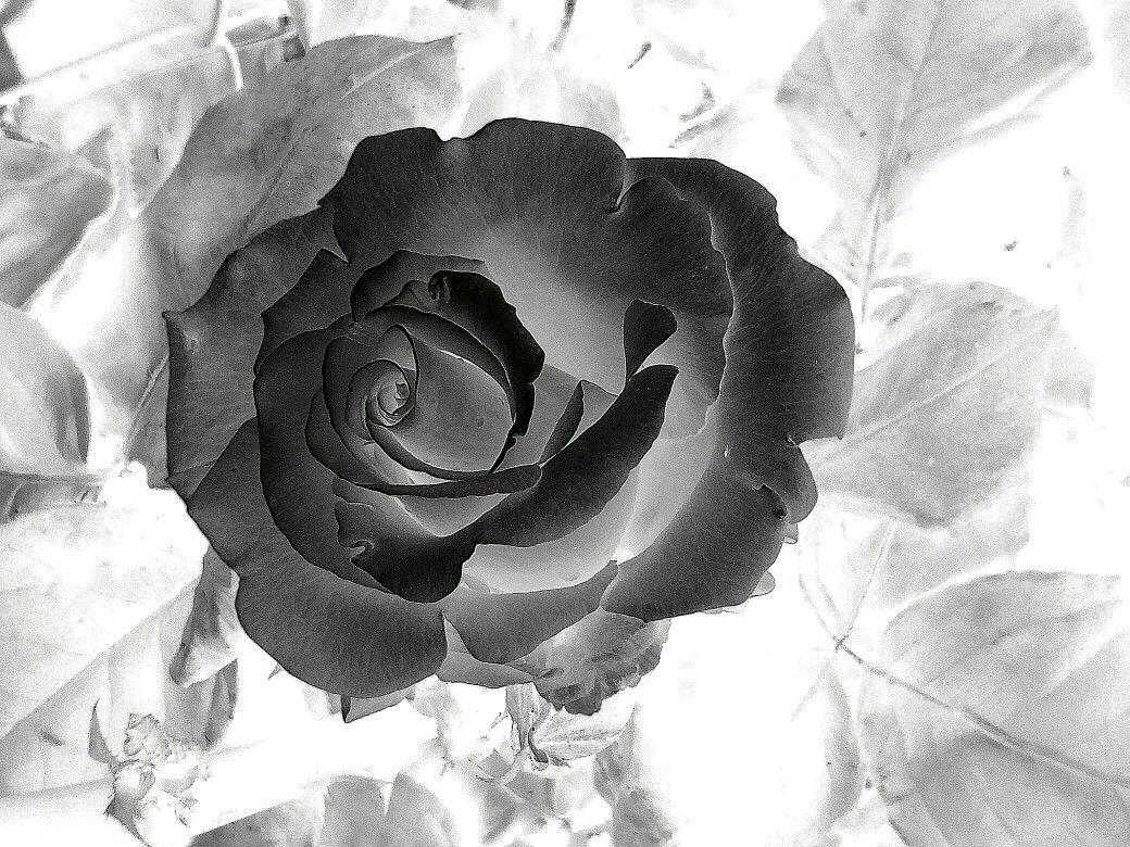 La mia rosa in contrasto