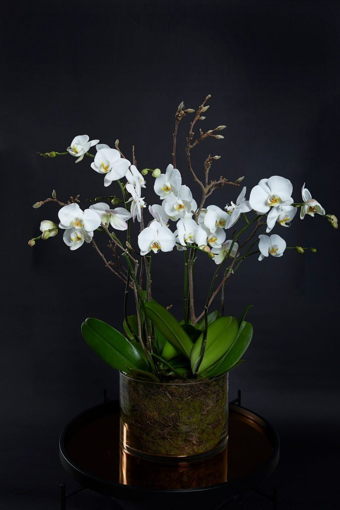 Phalaenopsis orchid plant delivered in Melbourne in 2020