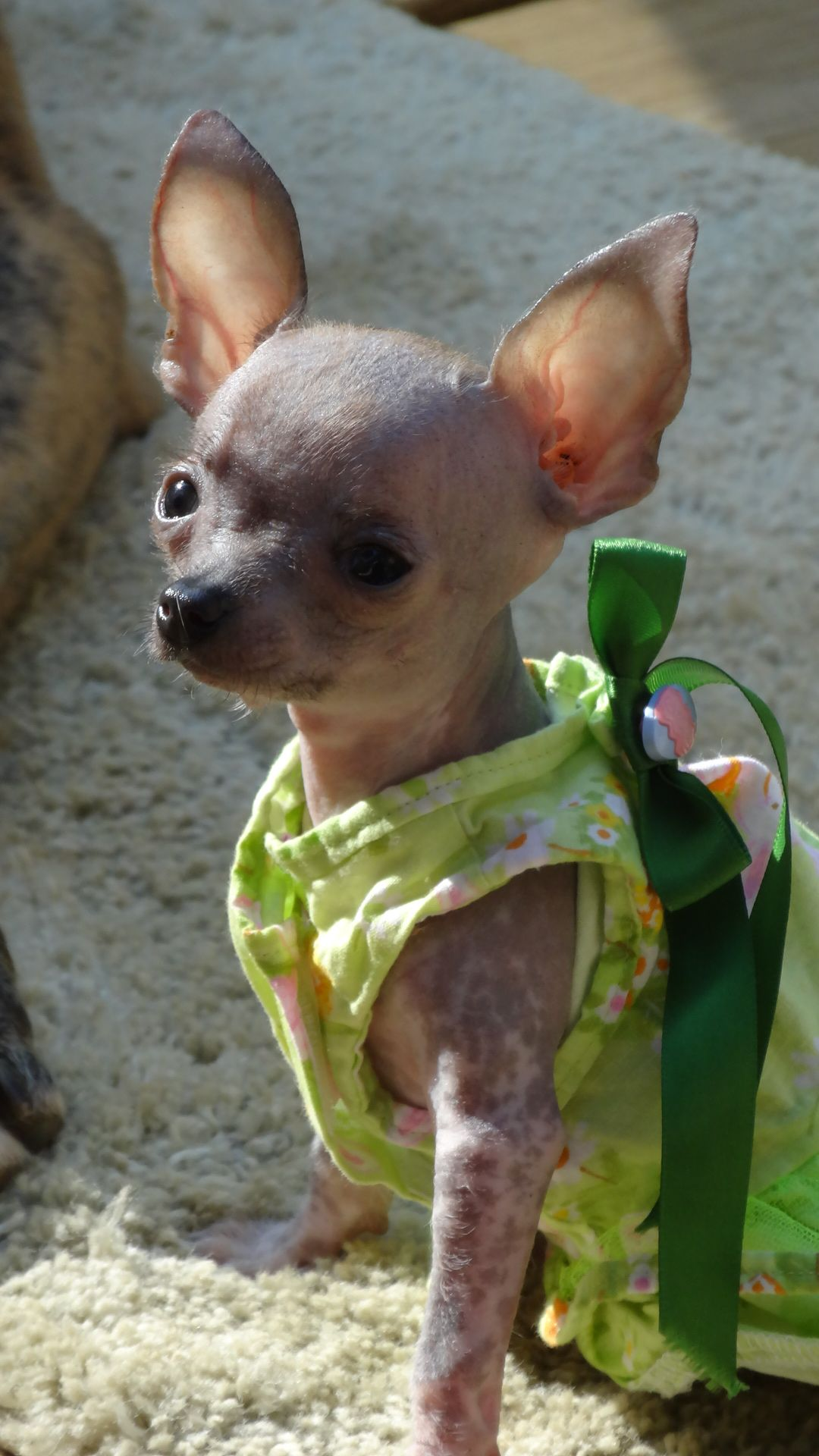 Birdie Rose Our Chihuahua Chinese Crested Mix Isn T She Just