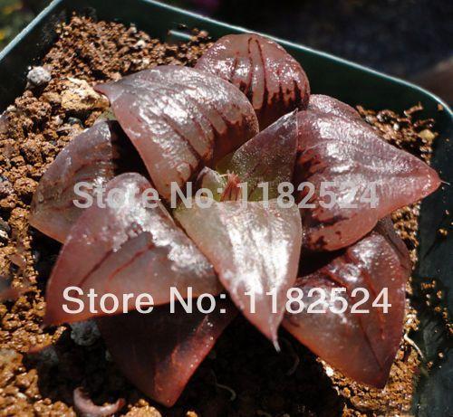 Image from http://g03.a.alicdn.com/kf/HTB16n7jHFXXXXc4XFXXq6xXFXXXW/2015-Hot-Sale-New-Arrival-Vegetable-Seeds-Sementes-50-Rare-font-b-Haworthia-b-font-Atrofusca.jpg.