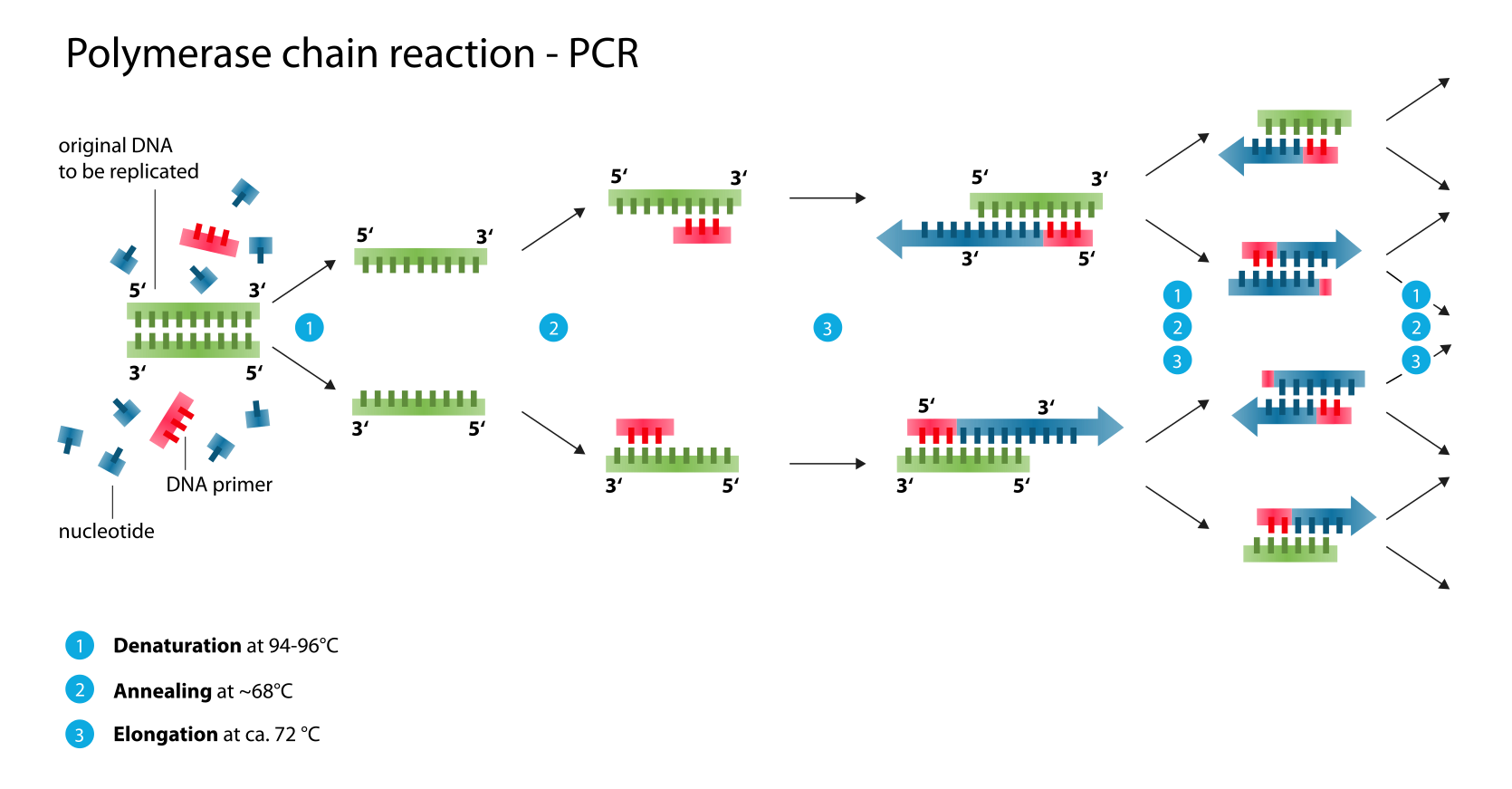 Schematic Drawing Of A Complete Pcr Cycle In 2020 Dna Dna Replication Molecular Biology
