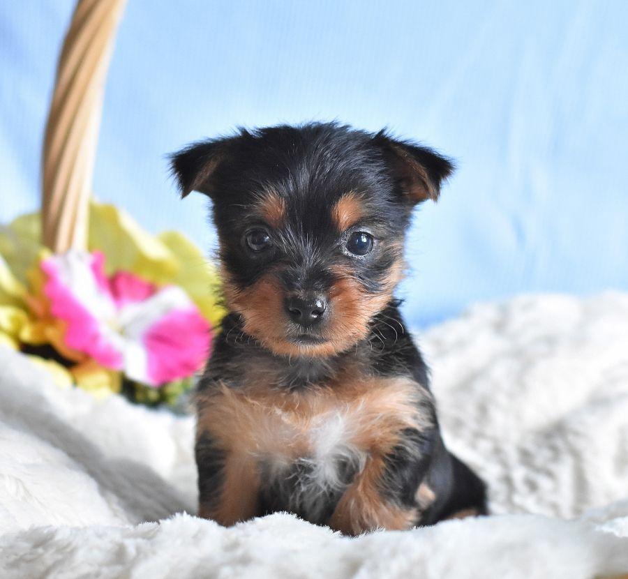 Loyal Yorkshireterrier Yorkshire Terrier Puppies Puppies