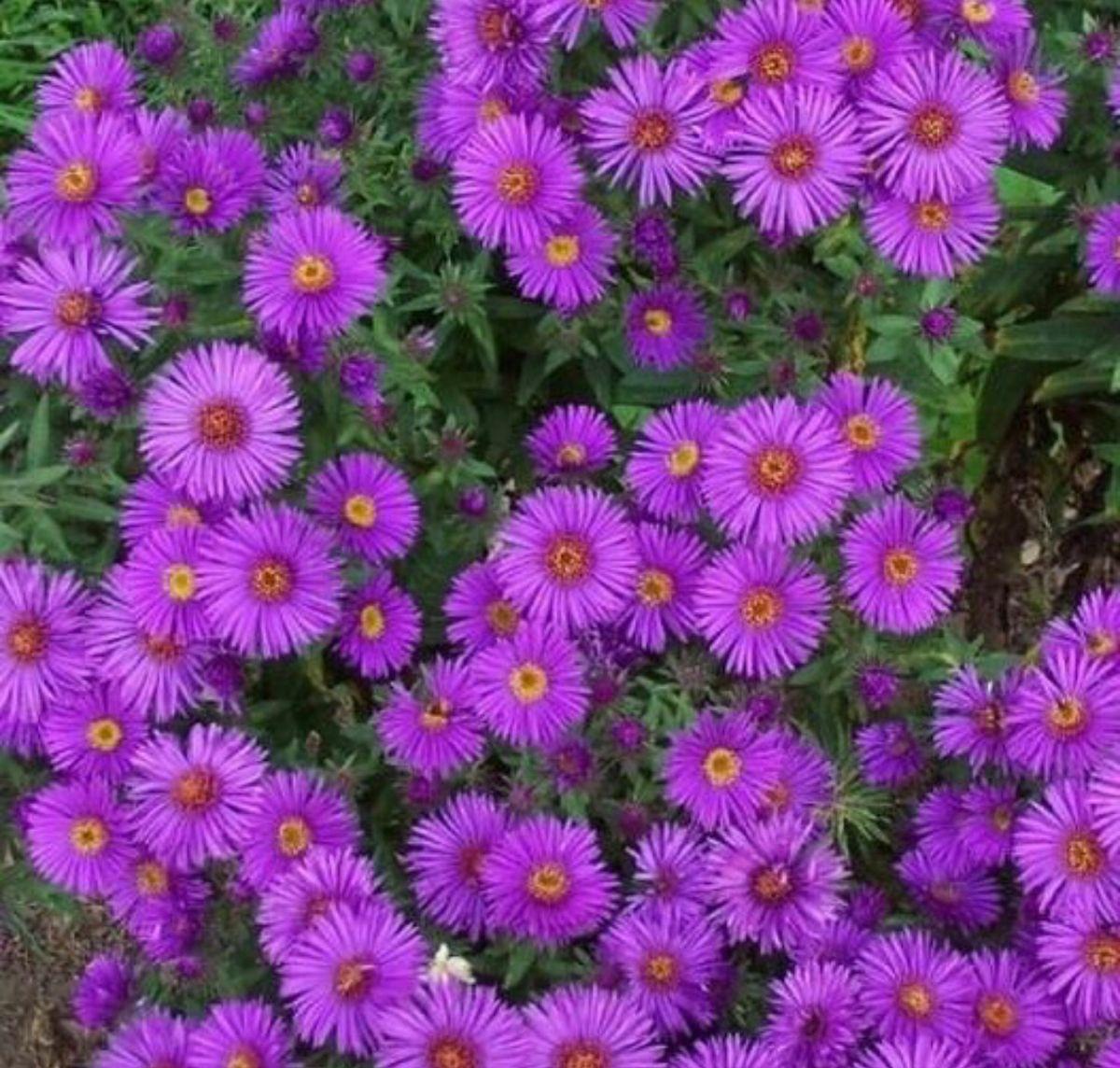 Aster Flower In 2020 Flower Seeds Online Aster Flower Flower Landscape