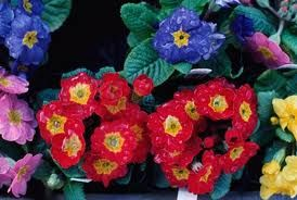 Primroses are are admired for their chromatic diversity.