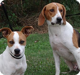 Westport Ct Beagle Treeing Walker Coonhound Mix Meet Bogey