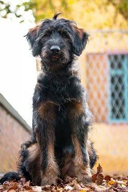 Shepadoodle Rescue Scruffy Dogs Poodle Cross Breeds German