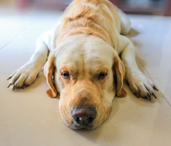 Facts To Know About Heartworm Disease In Dogs And Cats Lethargic Dog Heartworm Dog Training Near Me