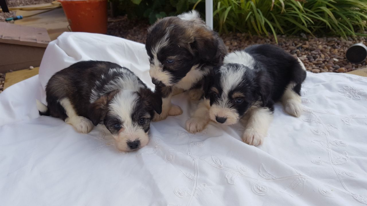Collipoo Puppies For Sale Puppies For Sale Puppies South Yorkshire