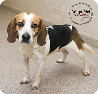 Troy Oh Beagle Meet Tonka A Dog For Adoption Dogs Dogs