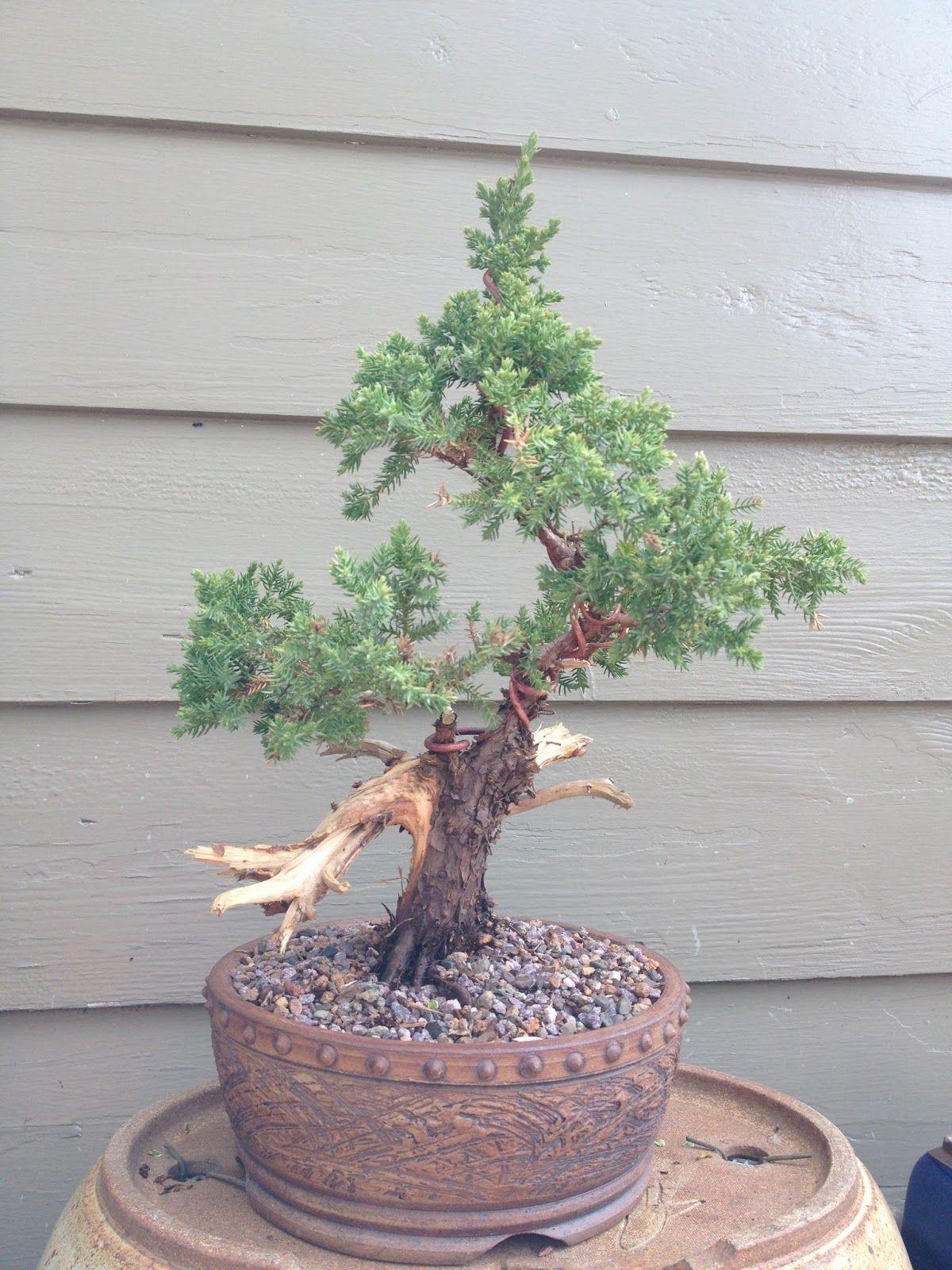 Bonsai Mr Miyagi : bonsai, miyagi, Bonsai, Amazing, Miyagi, Ideas,, Excellent, Loblolly, Lob…, Tree,, Bonsai,, Flowering