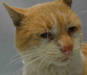 **SAFE 11/03/15** FIV-positive CHRIS was brought to the ACC as a stray, but one look at that sweet little face and it's clear that he deserves to be someone's cherished pet.