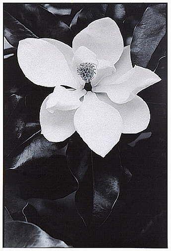 Black And White Magnolia Photography Steel Magnolia Flower Tree