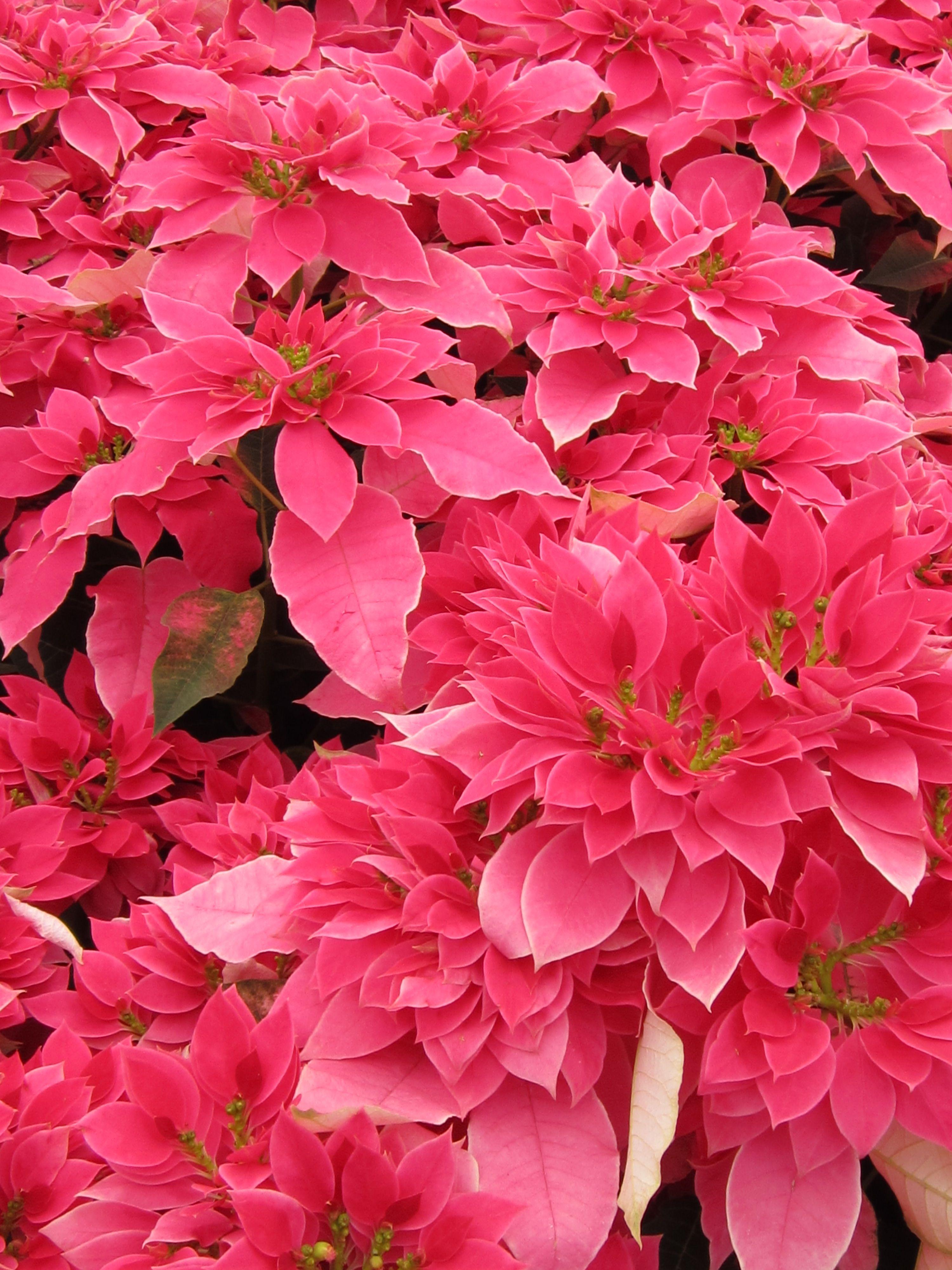 Pascuas Flores Y Paisajes Pinterest Poinsettia Flowers
