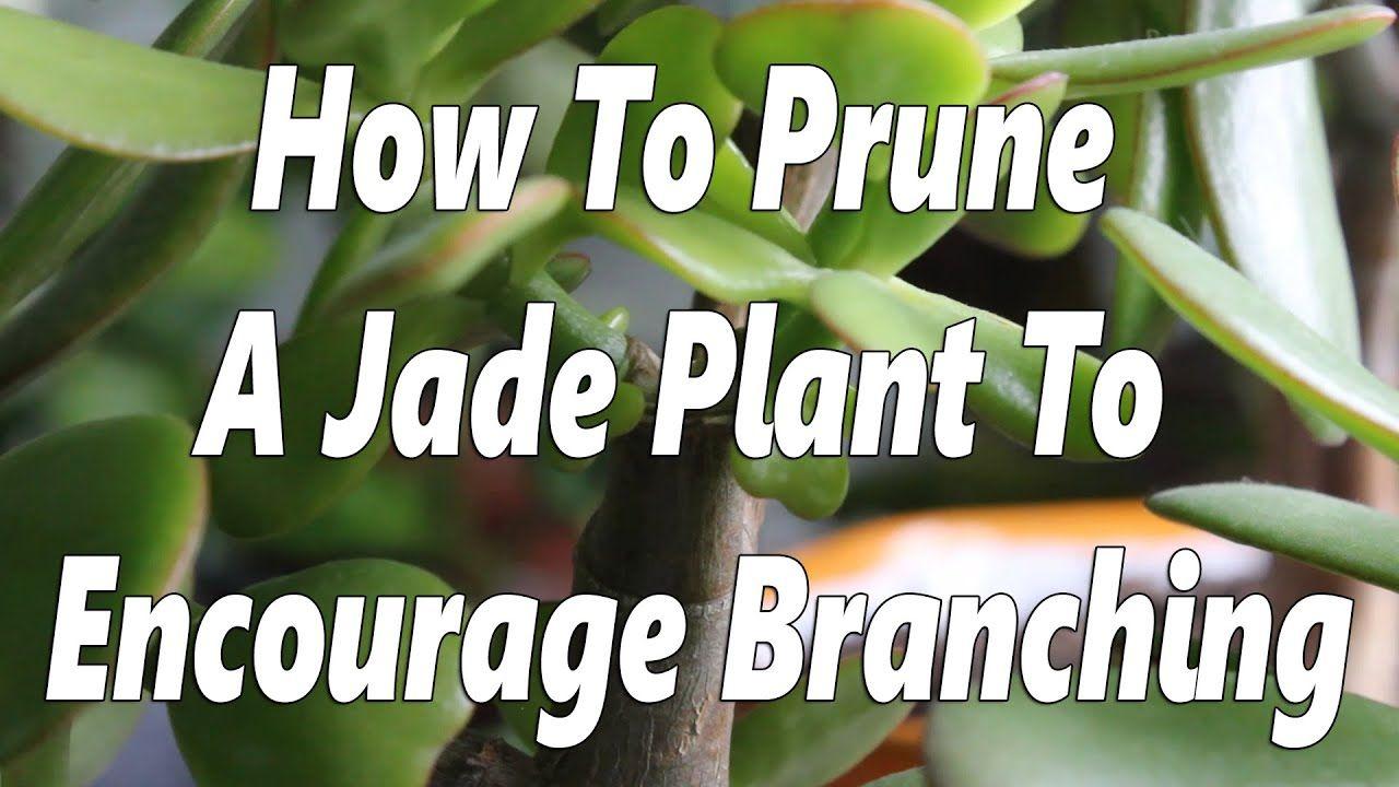 Jade Plant Pruning To Encourage Branching Youtube Jade Plants Jade Plant Pruning Jade Plant Bonsai