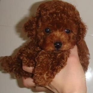Red Teddy Bear Looking Toy Poodle Teddy Bear Poodle Poodle Red