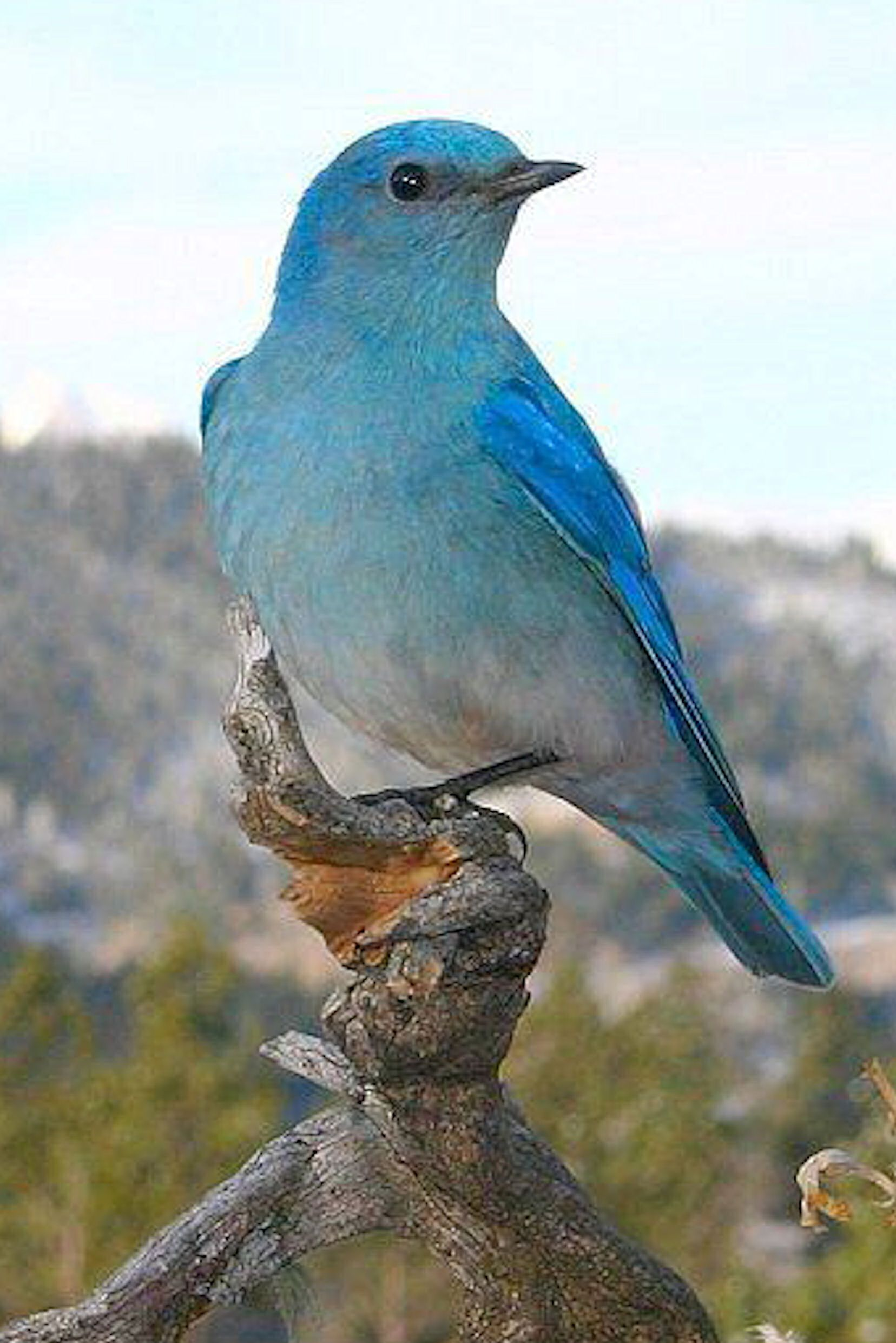 A Mountain Bluebird
