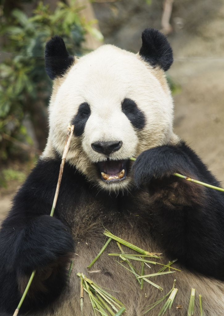 eating panda Panda, Panda bear, Animals beautiful