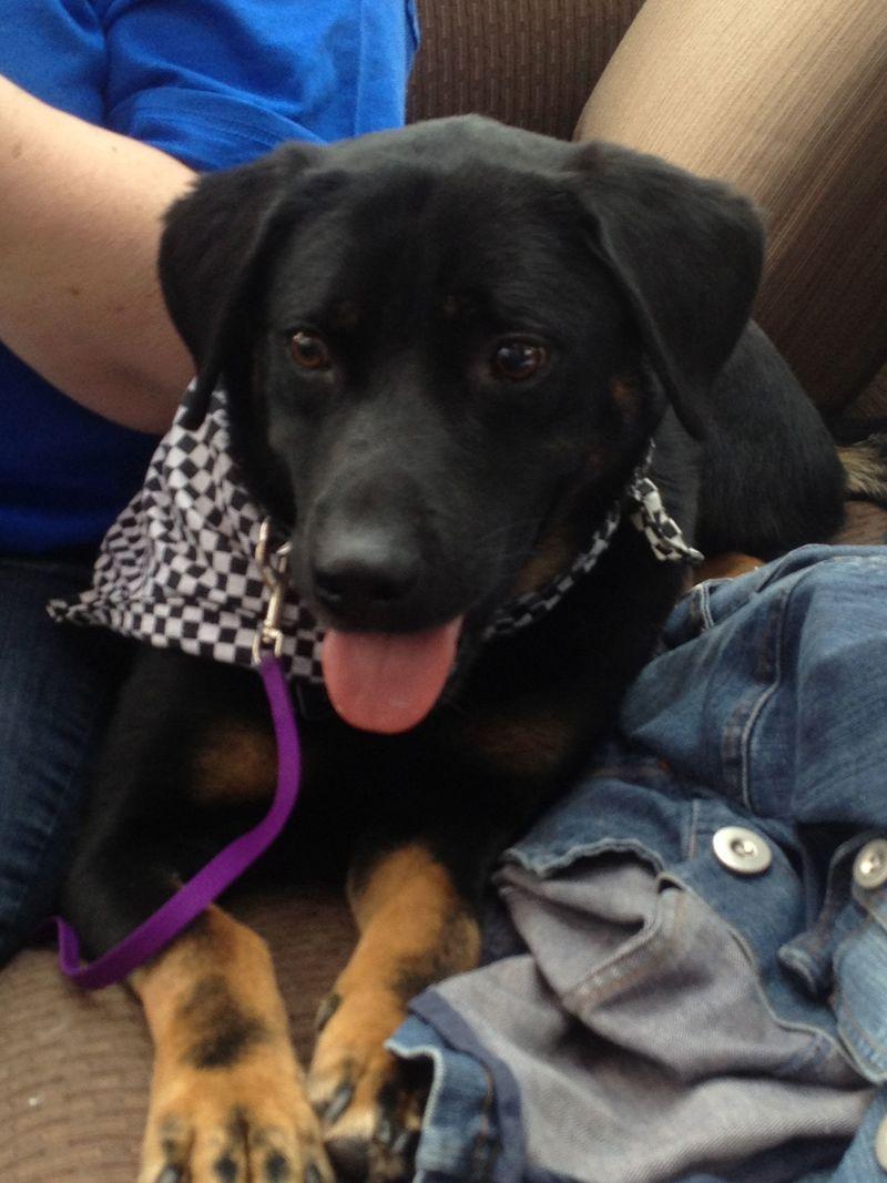 Dallas german shepherd dog rottweiler mix young