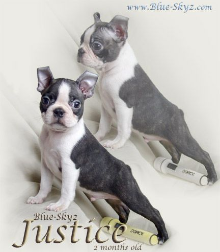 Blue Boston Terrier Puppies For Sale Google Search Boston