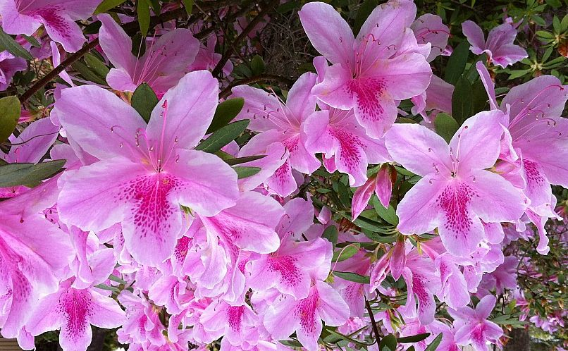Azaleas in bloom in fairhope al azaleas plants bloom