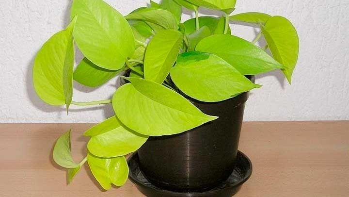 Si siembras esta planta en tu casa no sabes el gran aporte que harás a tu salud y la de los demás, ya que con ella podrás eliminar componentes tan tóxicos como el formaldehído, el xileno o el benceno del aire de casa. ¡Descúbrelo todo sobre ella!