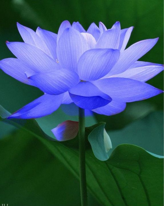 The Blue Lotus Flower Refers To The Common Sense It Uses Wisdom And