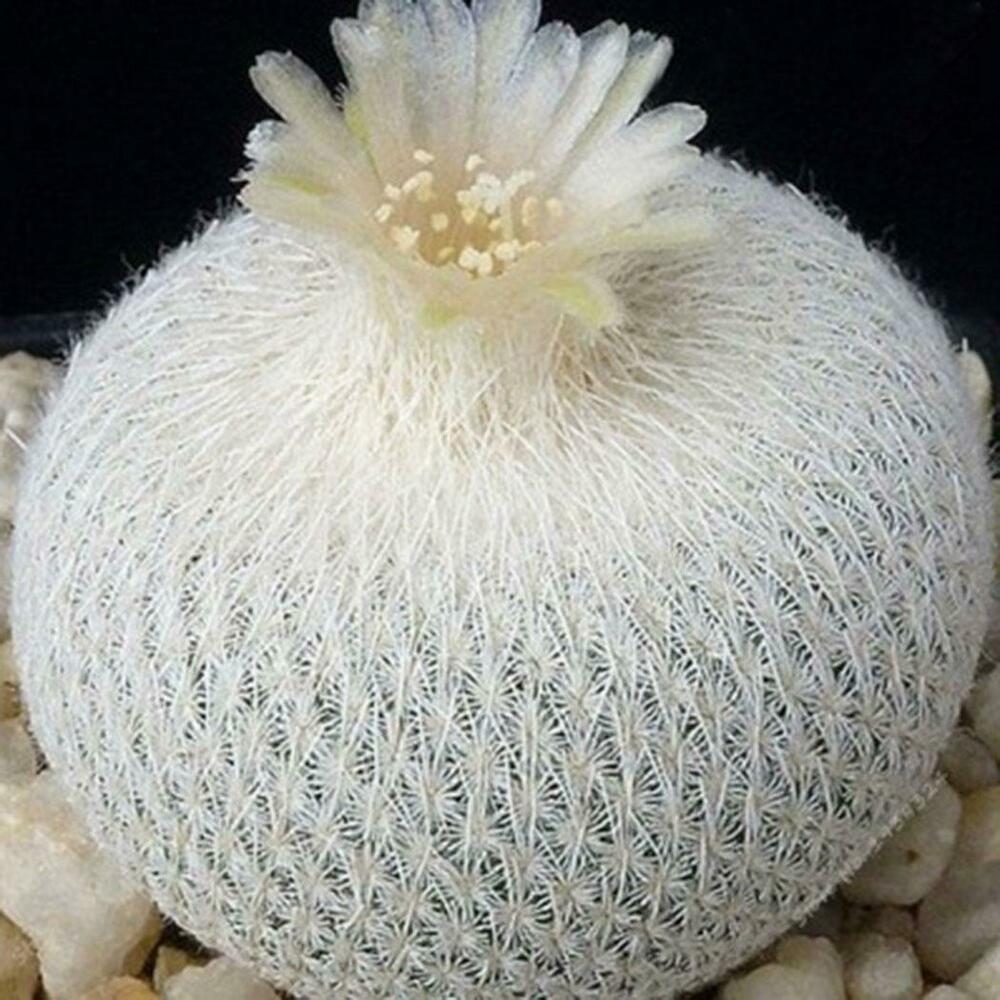 20pcs//50pcs Succulent Plant Mammillaria Cactus Seeds Home Garden Bonsai KFBY