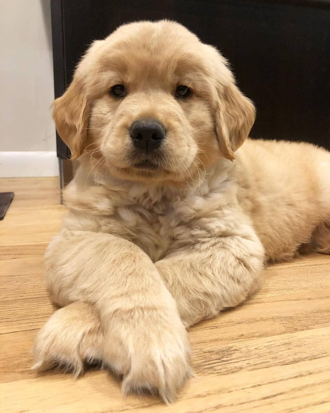 What Wud You Name Him Themgoldenboys Goldenretriever Goldenretrieverpuppy Cute Lab Puppies Very Cute Dogs Cute Dogs