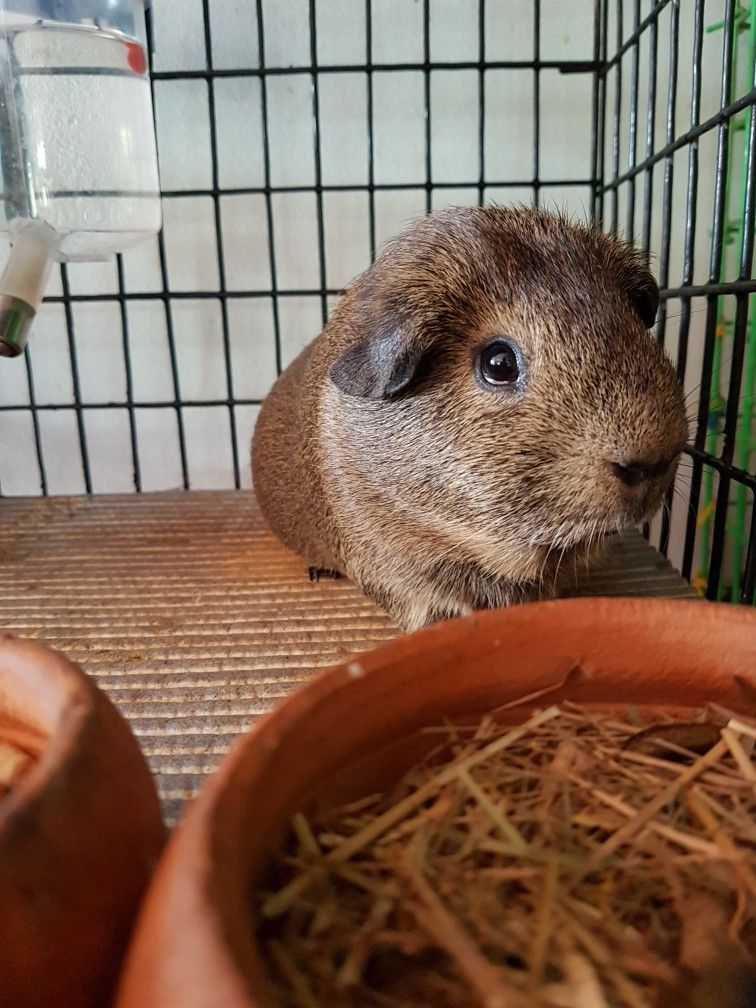 Pin op Adams cavy piggies guinea pig family