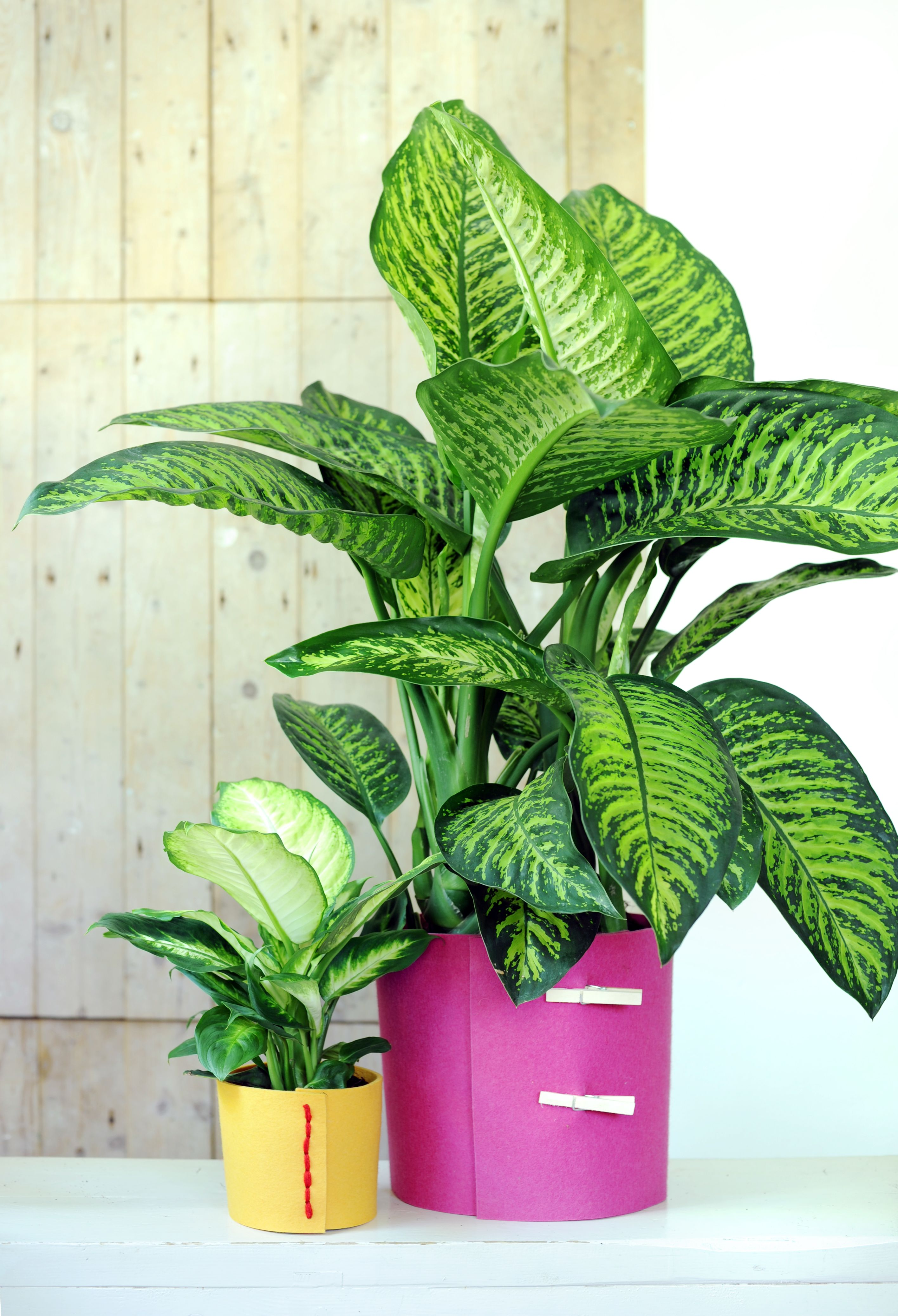 Features breeding and care for indoor plants Peperomiya