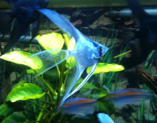 My Blue Ghost Angelfish Angel Fish Fish Breeding Tropical Fish