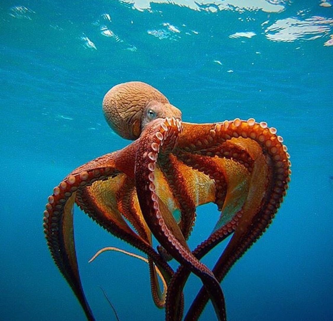 Gorgeous octopus! | Ocean Creatures | Octopus, Ocean ... Pacific Ocean Underwater Animals