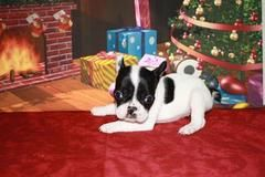 Akc French Bulldog Pups Puppies And Dogs For Sale Pets Classified