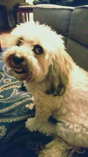 Ginger Lhasa Apso Poodle Mix Dog Puppy Smiling Poodle Mix Dogs