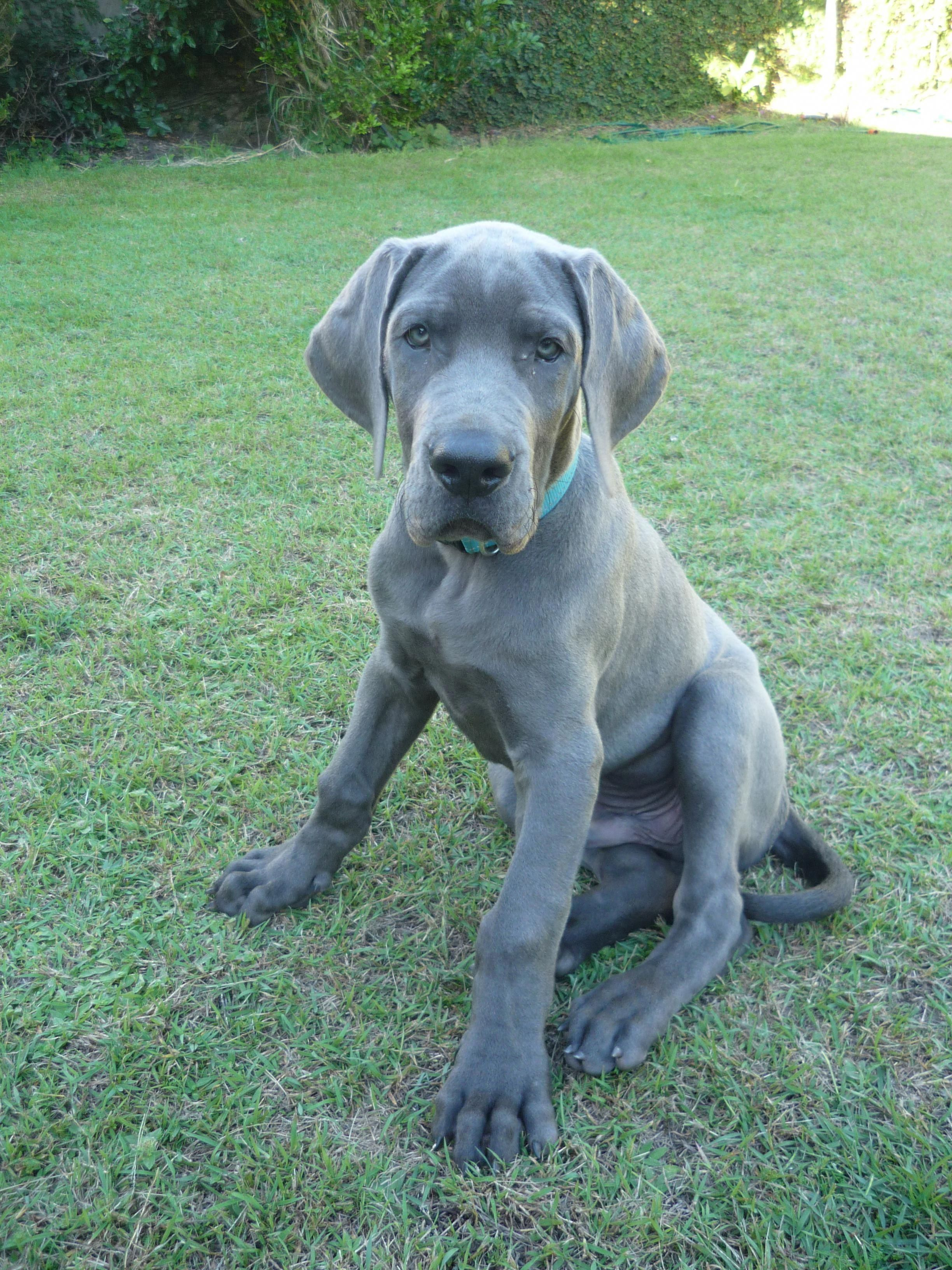 Find Out More On The Noble Great Dane Puppy Greatdanesofig