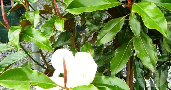 Magnolia Grandiflora Kay Parris Library Speciality Trees Magnolia Grandiflora Plant Leaves Fragrant Flowers
