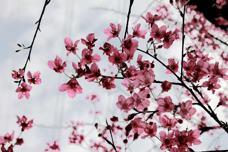Cherry Blossom Cherry Blossom Blossom Bloom