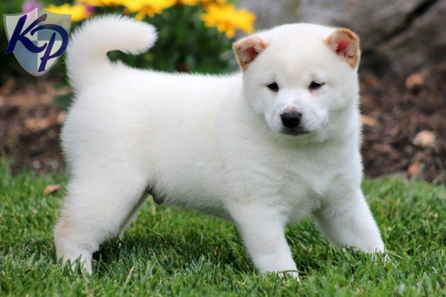Puppy Finder Find Buy A Dog Today By Using Our Petfinder Puppy Finder Shiba Inu Buy A Dog