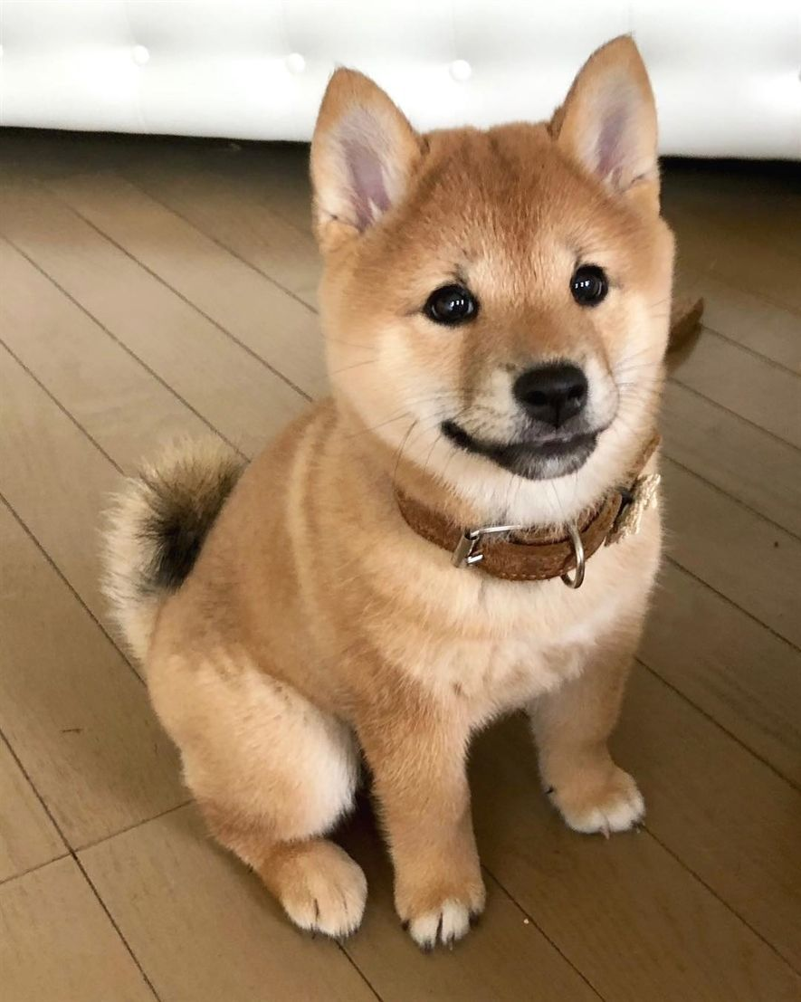 My First Collar Beautiful Pet Puppy Japanes Puppy Cutepuppycollars Cute Dogs Baby Animals Pictures Cute Puppies