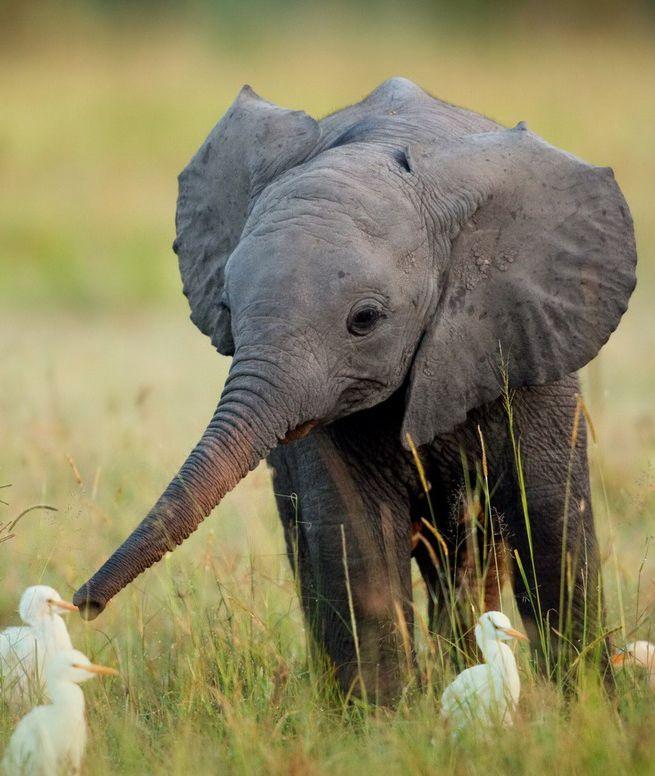 Elefante peque o y bonito - Fotos de elefantes bebes ...