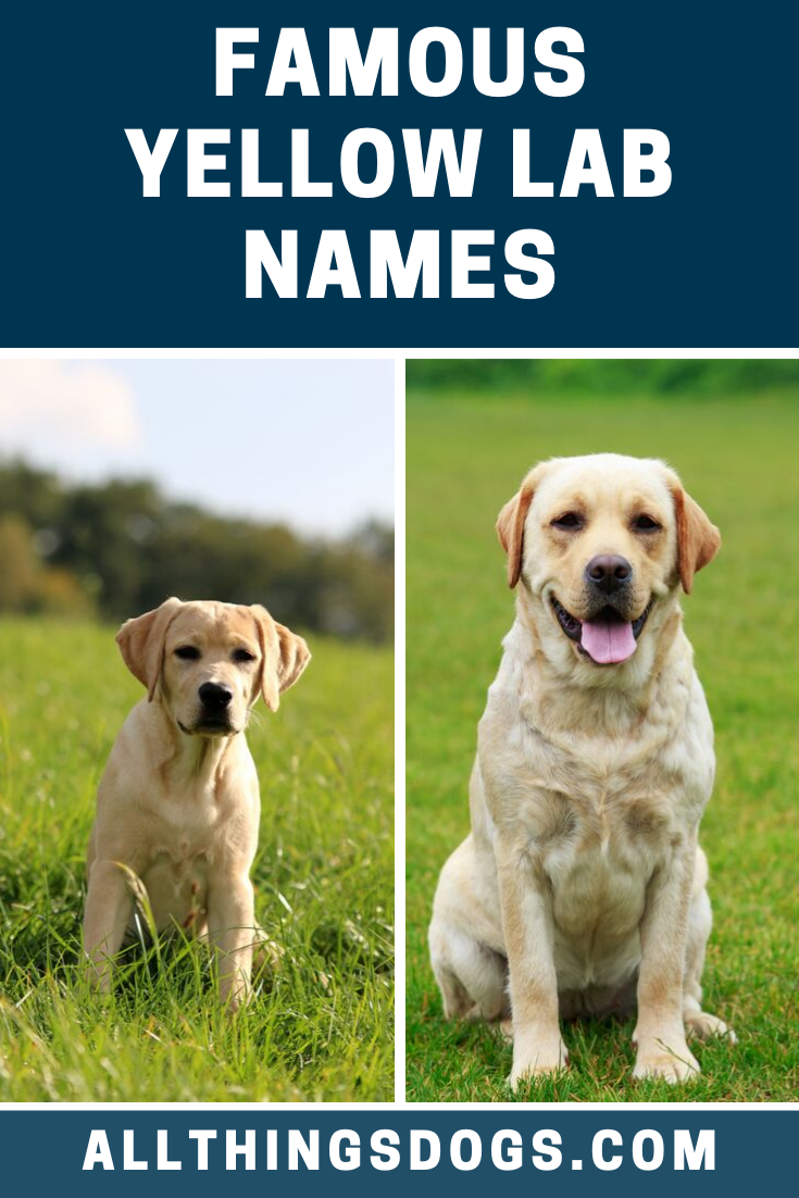 Famous Yellow Lab Names In 2020 Yellow Lab Names Yellow Lab Puppies Female Dog Names
