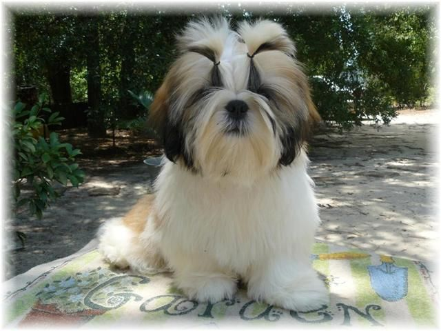 Shih Tzu Puppies For Sale California Zoe Fans Blog Shih Tzu Puppy Shih Tzu Puppies